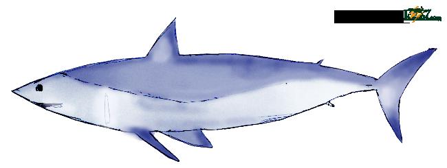 軟骨魚類アオザメ
