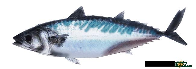 条鰭魚類サバ