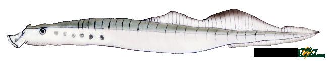 無顎魚類スナヤツメ