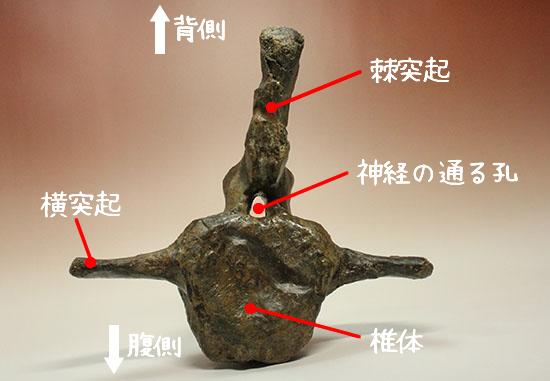 トリケラトプスの脊椎骨部位紹介